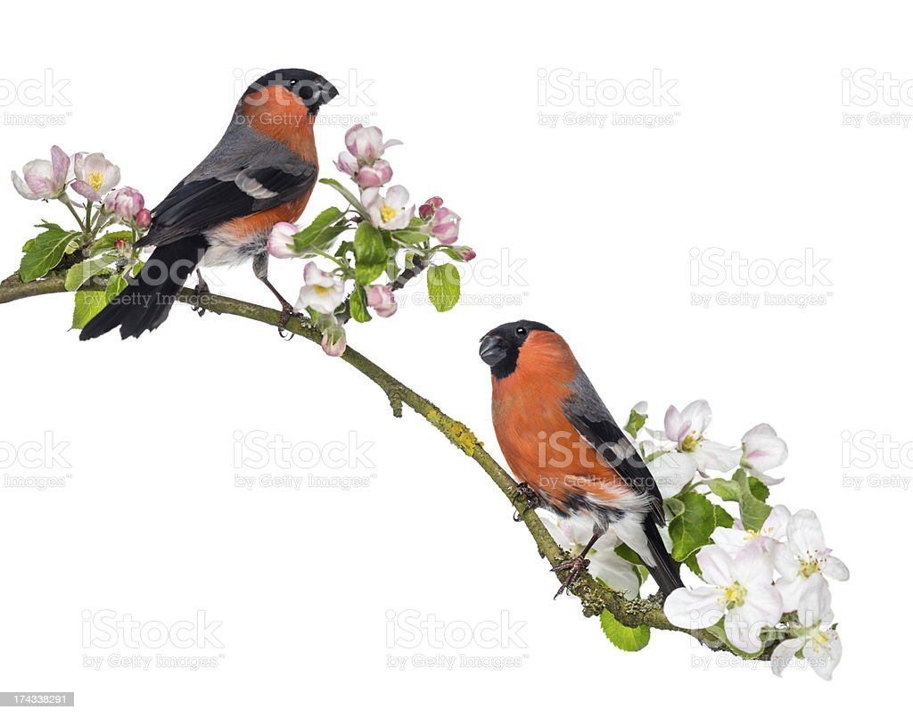 Bullfinches perched on a blossoming branch, isolated foto