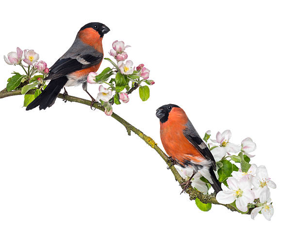 Bullfinches perched on a blossoming branch, isolated stock photo