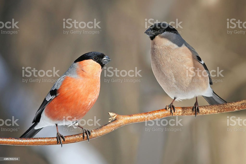 bullfinches stock photo