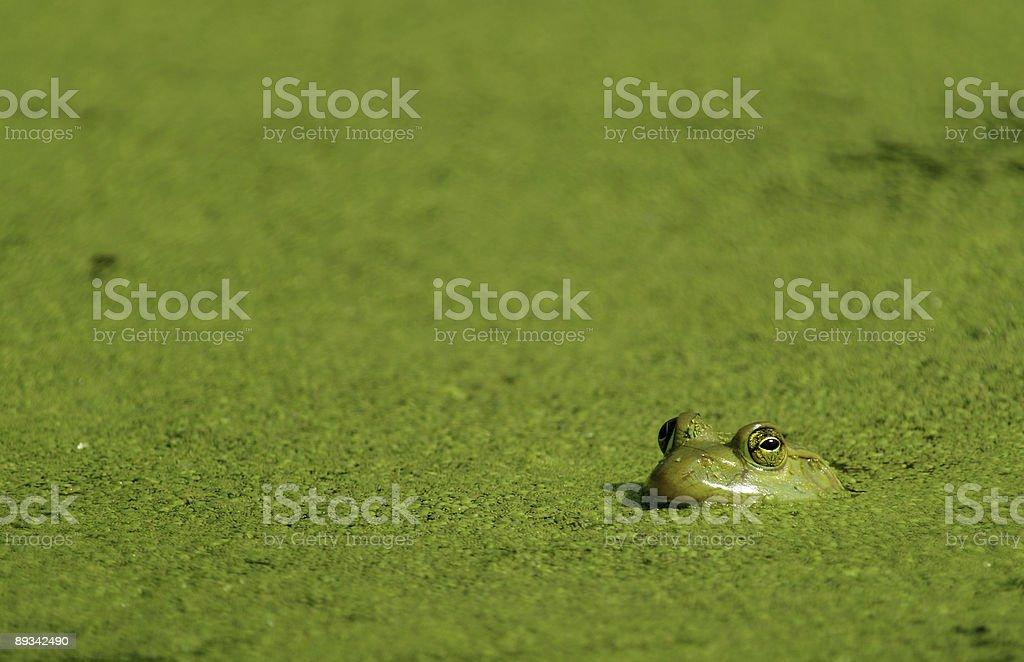 Bullfrog & Algae royalty-free stock photo