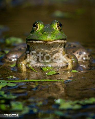 Bullfrog Bull frog in the pond