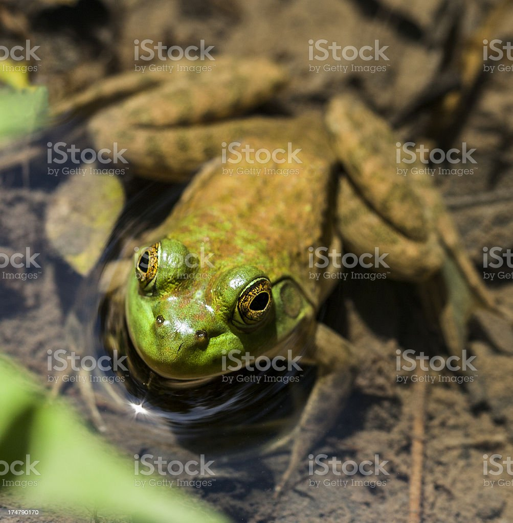 Bullfrog Enjoying a Muddy Riverbank royalty-free stock photo