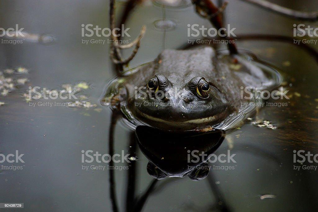 Bullfrog in Pond royalty-free stock photo