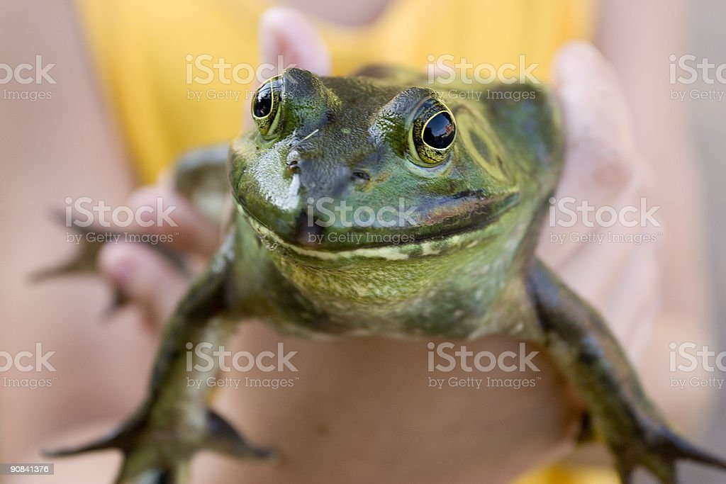 Bullfrog in the hand stock photo