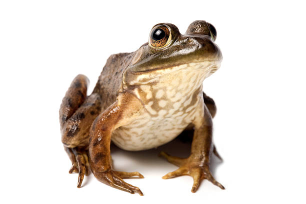 A bullfrog isolated against a white background stock photo