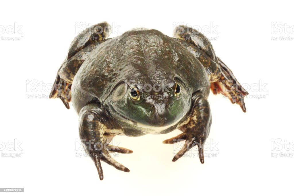 Bullfrog, Lana catesbeiana  on a white background stock photo