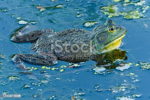 A Spring time view of a Bullfrog (Lithobates catesbeianus) sitting in green algae. This is in a wetland pond. Early morning light and blue sky refection on water surface.