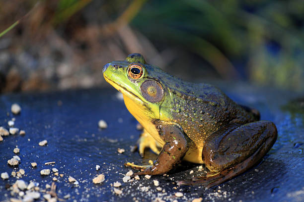 bullfrog - croak stock pictures, royalty-free photos & images