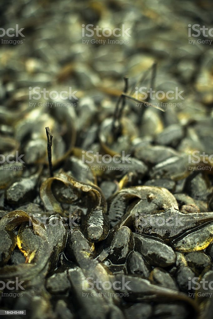Bullfrog Tadpoles Stranded on Land royalty-free stock photo