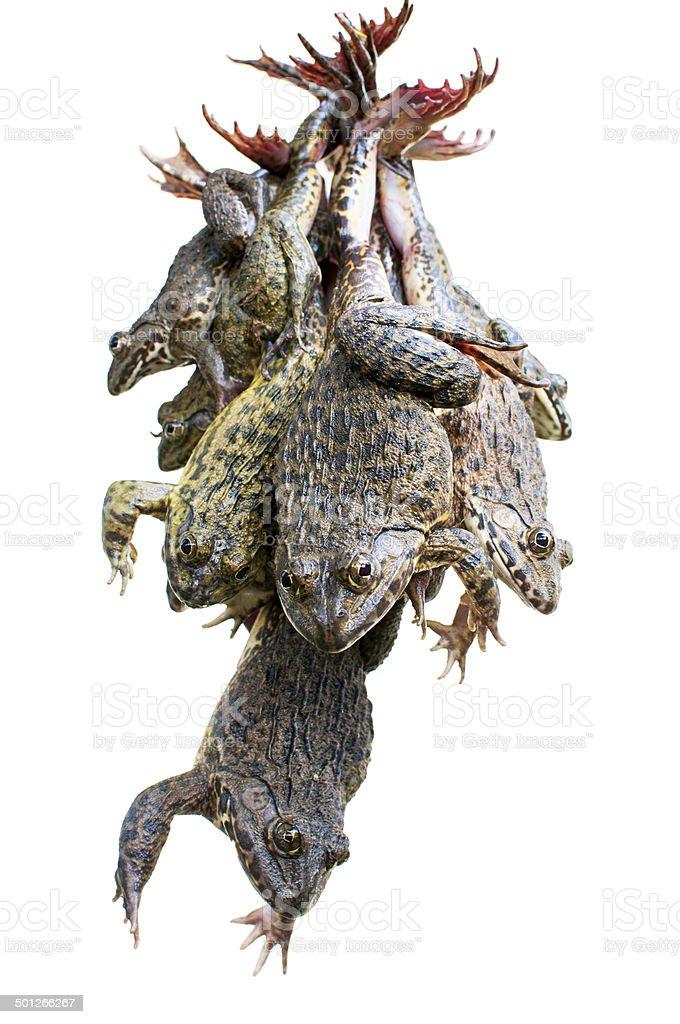 Bullfrogs stock photo