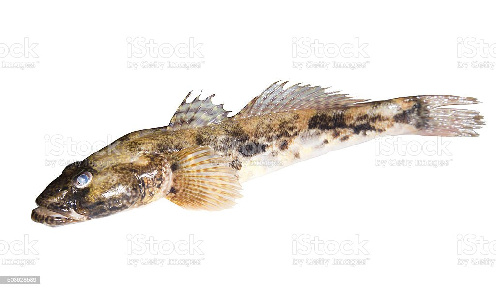Bullhead freshwater fish royalty-free stock photo