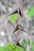 Leucaena leucocephala plant in nature garden