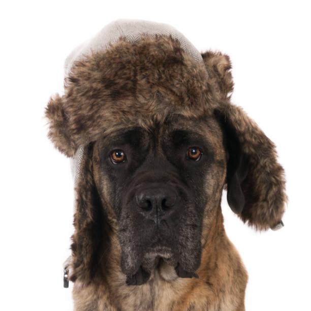 bullmastiff dressed with fake fur hat - großes 1x1 stock-fotos und bilder