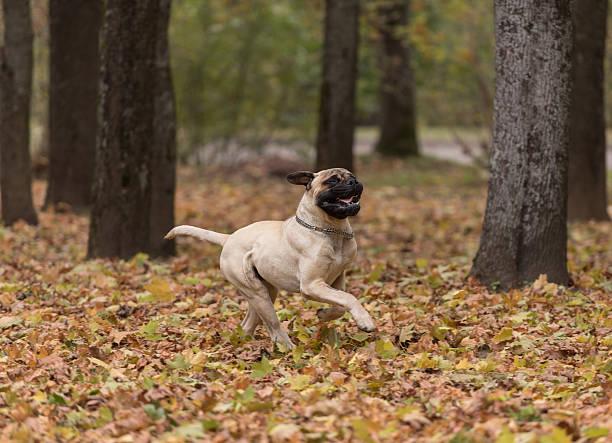 Bullmastiff is running in the park. stock photo