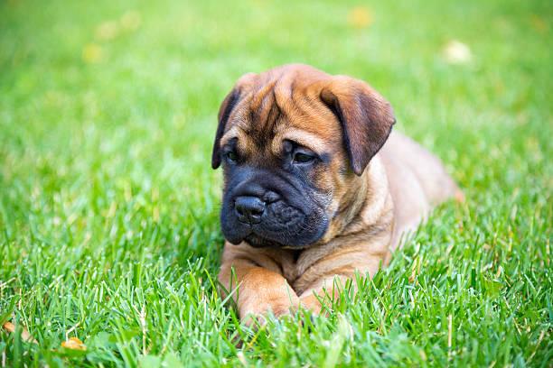 Bullmastiff puppy lying on a lawn stock photo
