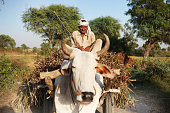 Indian farmer riding loaded ox cart on road in rural India.