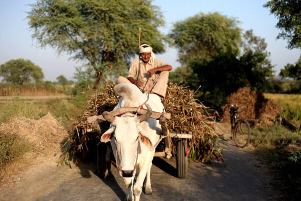 Bullock Cart Indian farmer riding loaded ox cart on road in rural India. working animal stock pictures, royalty-free photos & images