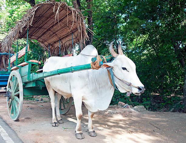 Bullock cart waiting, Sri Lanka stock photo