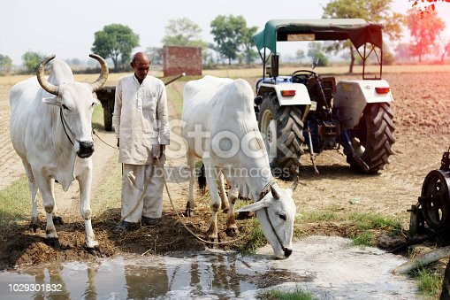 Bullock drinking water after ploughing field near tractor.