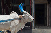 a bullock with big blue horns is pulling a bullock cart in a street in a city somewhere in the south of india. His horns are painted blue.