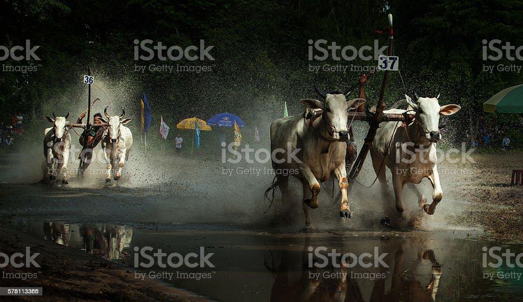 Bull-racing in Bay Nui, An Giang, Vietnam stock photo