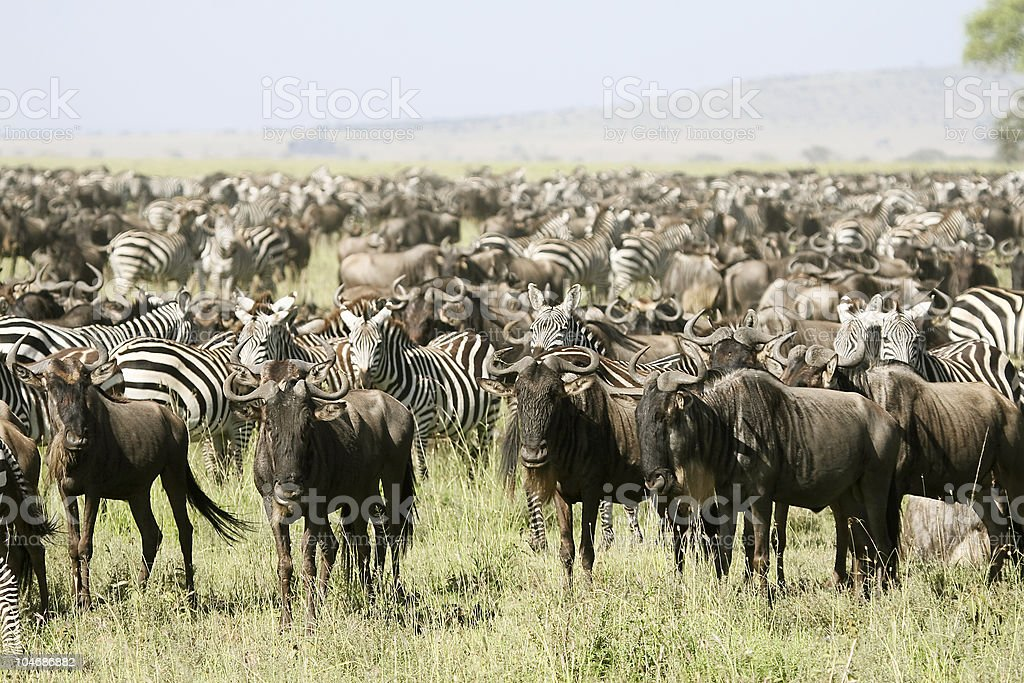 Bulls and zebras ready to migrate stock photo