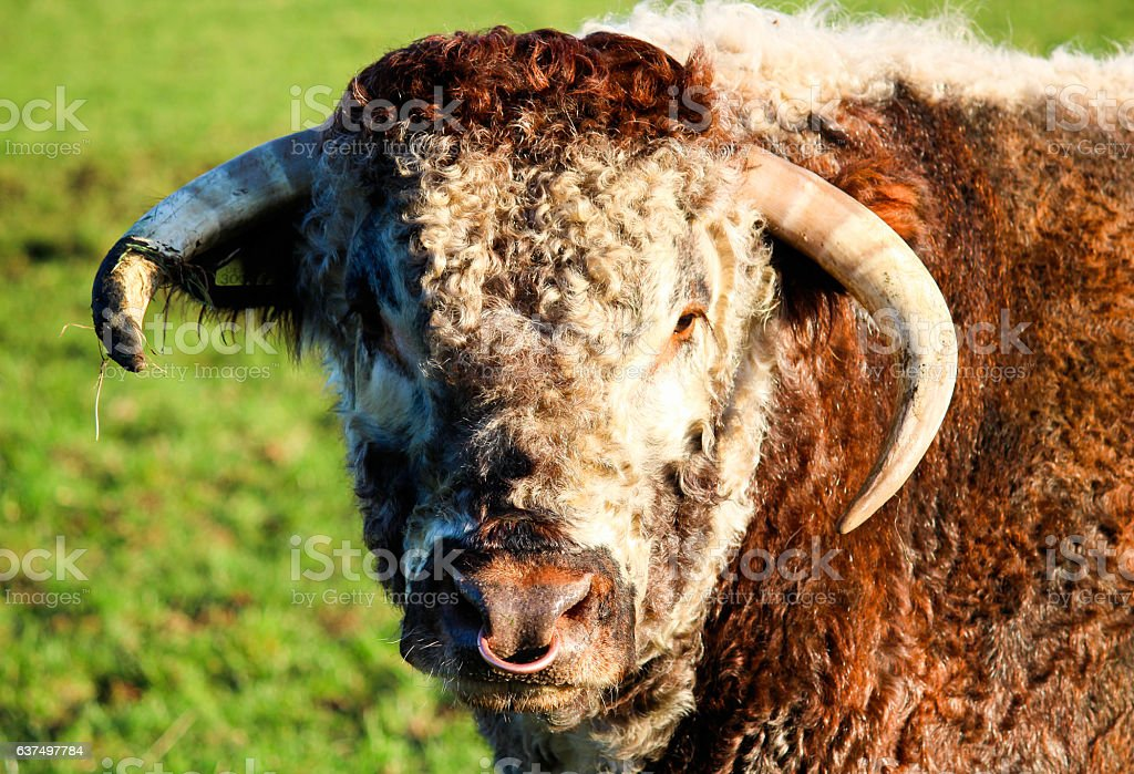 Bulls Head With Nose Ring Stock Photo More Pictures Of Aggression