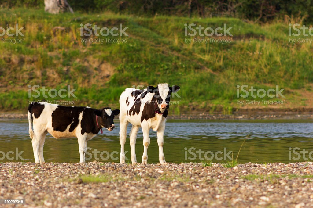 Bulls on riverside royaltyfri bildbanksbilder