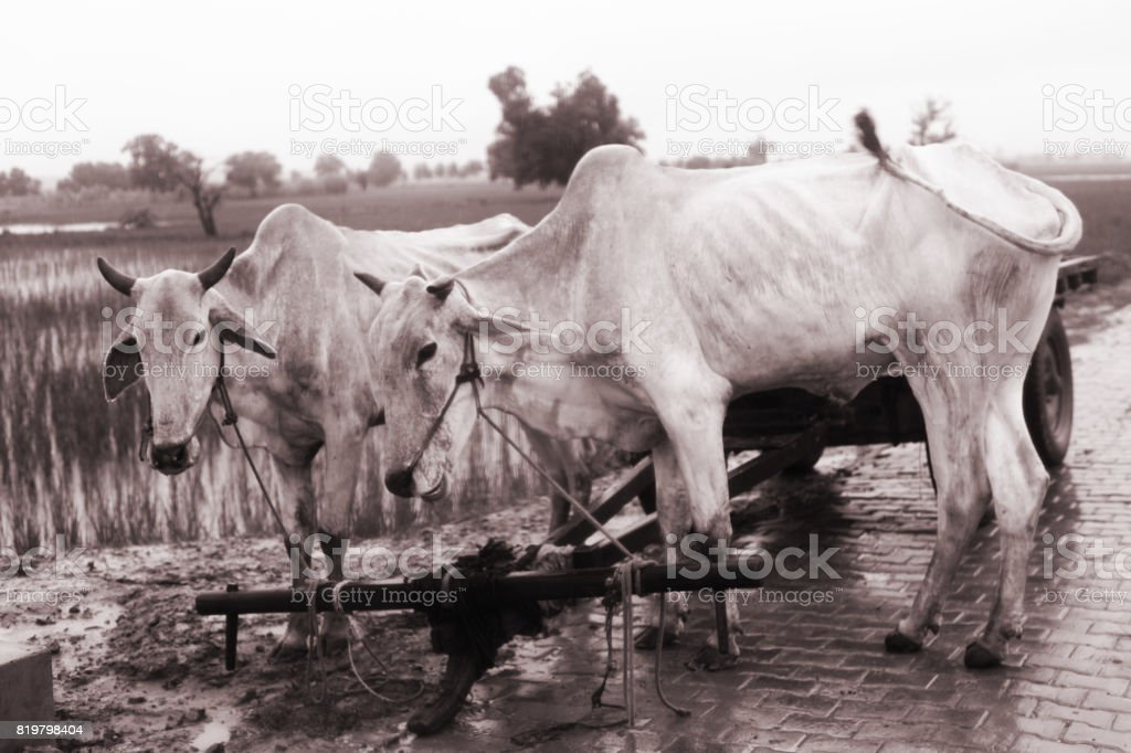 Bulls stock photo