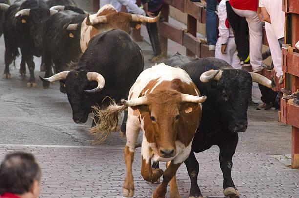 Bulls Race stock photo