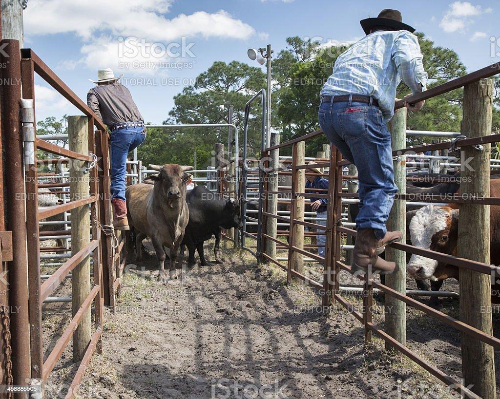 bulls turn on cowboys stock photo