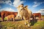 Prise de vue d'une vache nantaise en train d'allaiter son veau, au zoom 18/135, 200 iso, f 14, 1/160 seconde