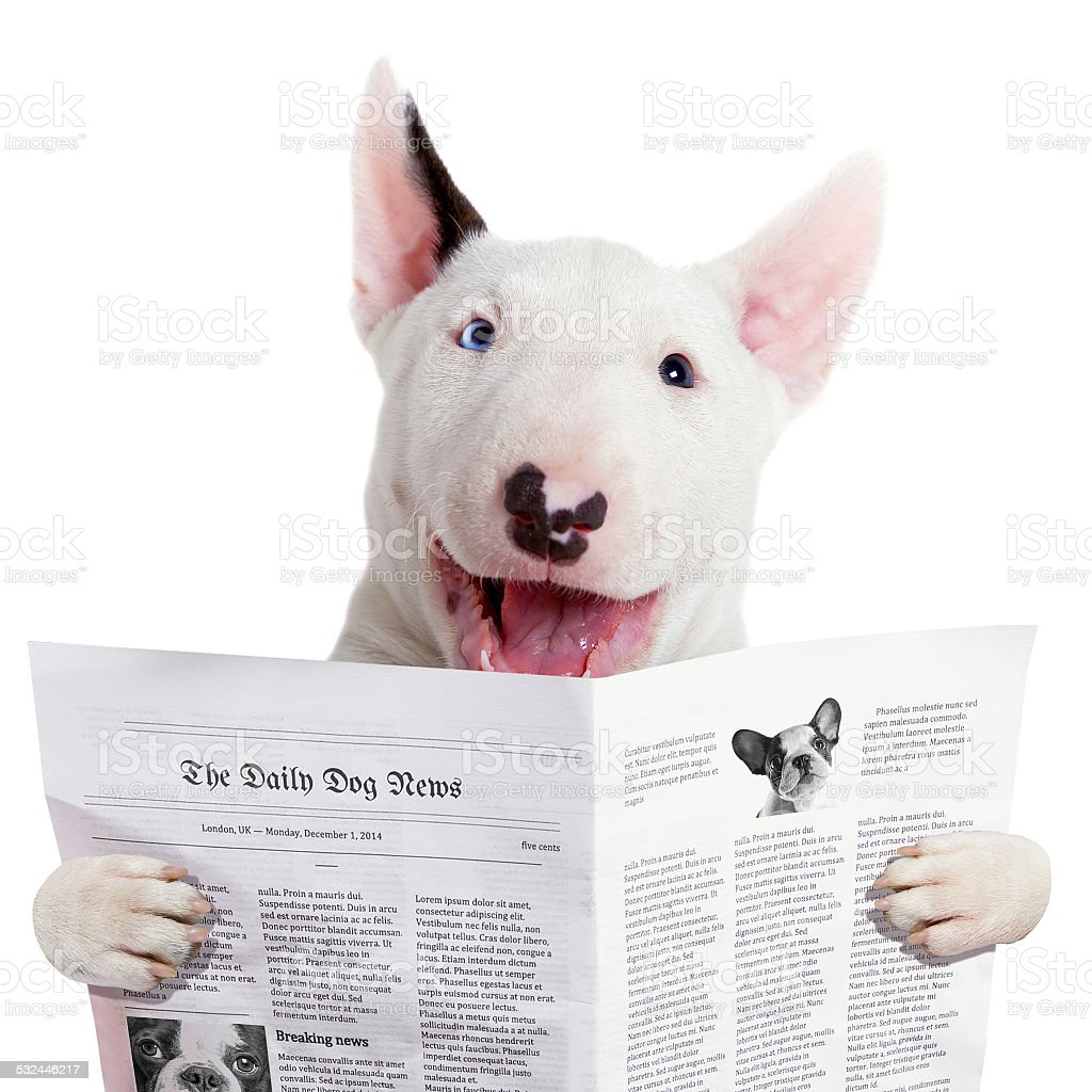 Bullterier reading newspaper stock photo