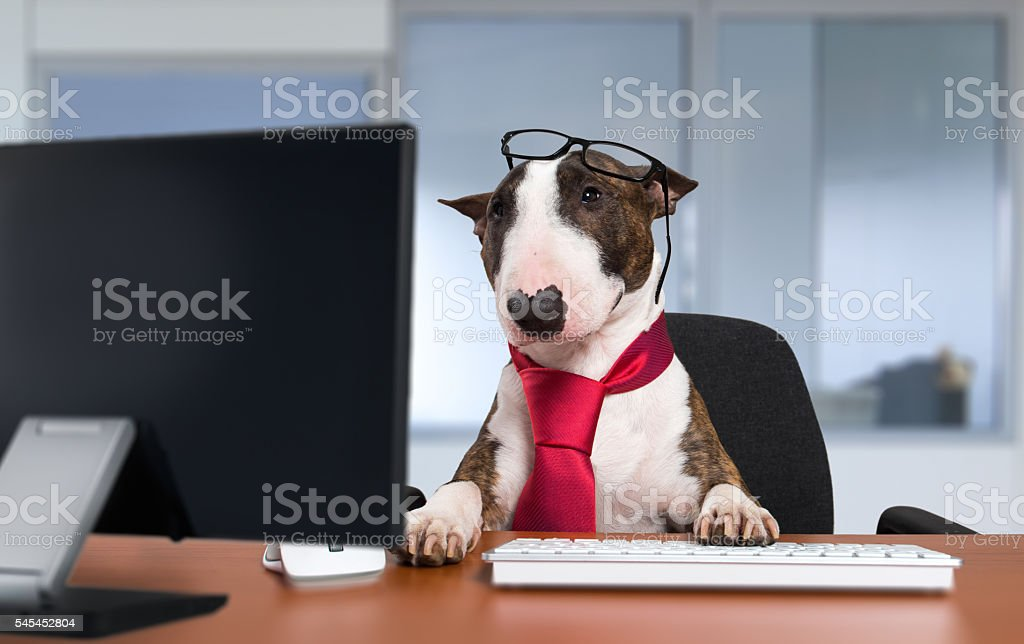 Bullterrier dog working with a computer in an office stock photo