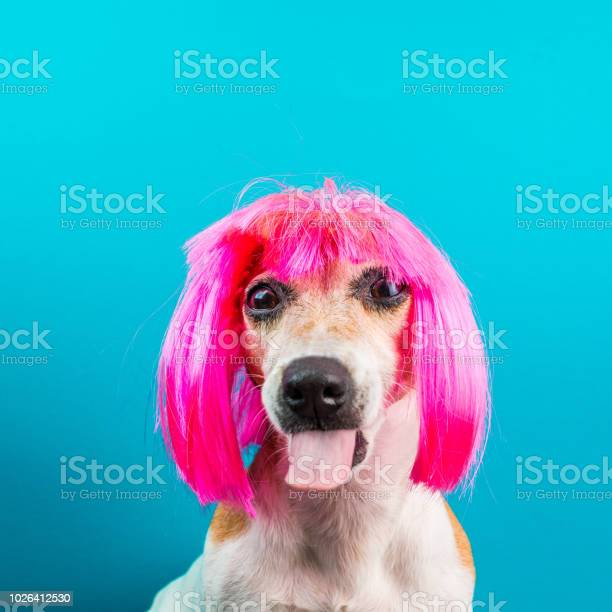 Bully dog mozzle in pink wig on blue background picture id1026412530?b=1&k=6&m=1026412530&s=612x612&h=u iny4eru lbprfblgkucusyjittubffnfwf6eqxge8=