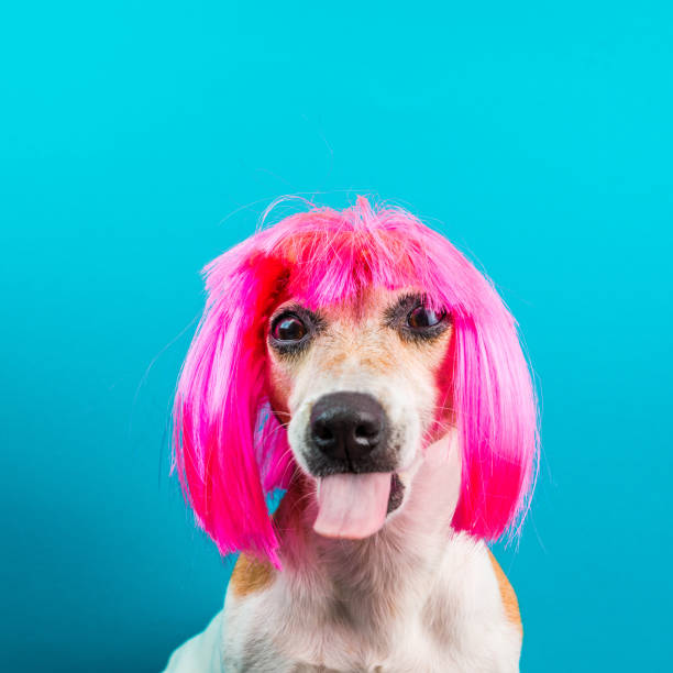 Bully dog mozzle in pink wig on blue background picture id1026412530?b=1&k=6&m=1026412530&s=612x612&w=0&h=v50gv63vyvnsgf5pc5le1571qc3f7bt8zz7l2qv81vg=
