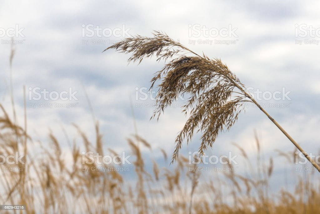 Bulrush against the sky royalty-free stock photo