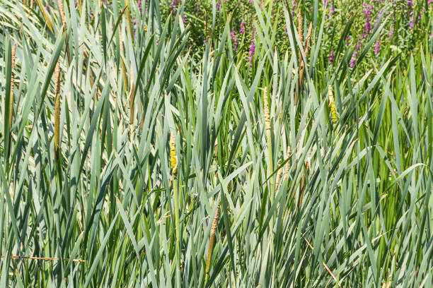 Bulrush, cattail or great reedmace stock photo