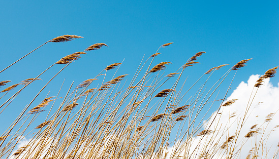 Bulrush in the wind against blue sky.
