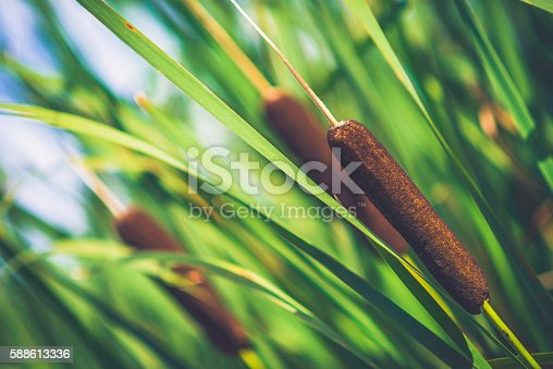 Bulrush plants also known as cattails, growing in wetlands