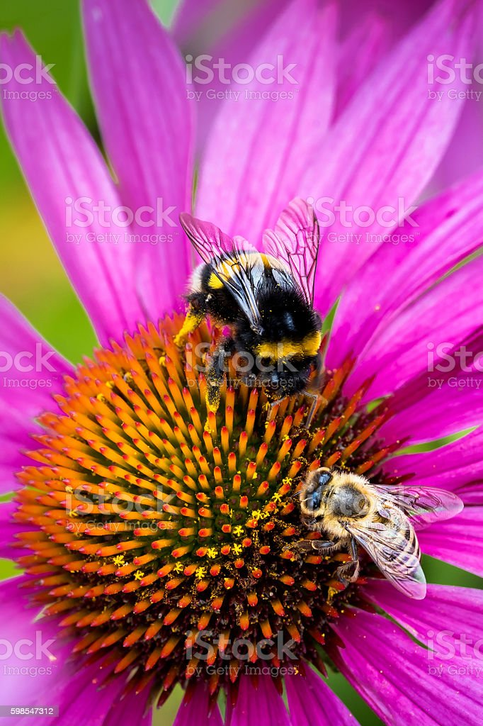 Bumble and a Bee on Pink Flower Close Up photo libre de droits