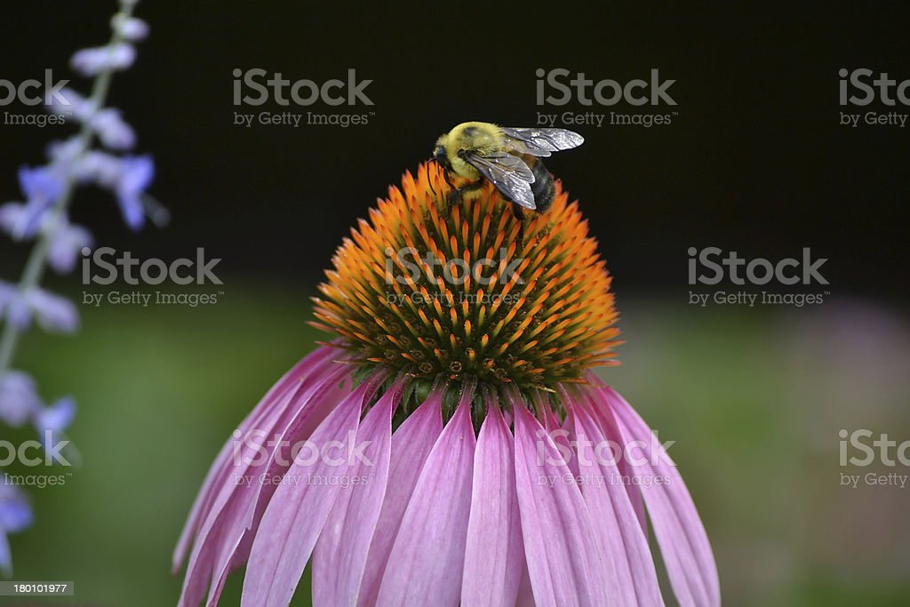 Bumble Bee 2 royalty-free stock photo