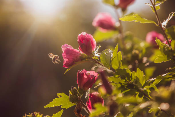 Bumble Bee and Rose of Sharon stock photo