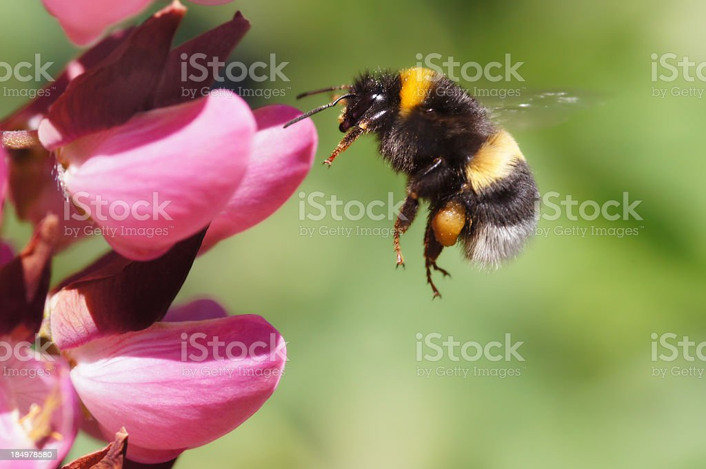Bumble bee arriving at a pink flower stock photo