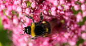 Bumble bee Bombus leucorum pollinating pink sedum flower