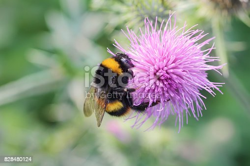 Pollination of a pink thistle flower by a large bumble bee, Bombus lucorum. This bee is distinguished by its white rear end / bottom.