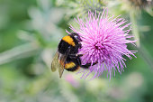 Bumble bee Bombus lucorum on pink thistle flower