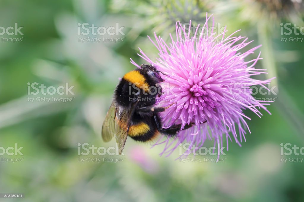 Bumble bee Bombus lucorum on pink thistle flower stock photo
