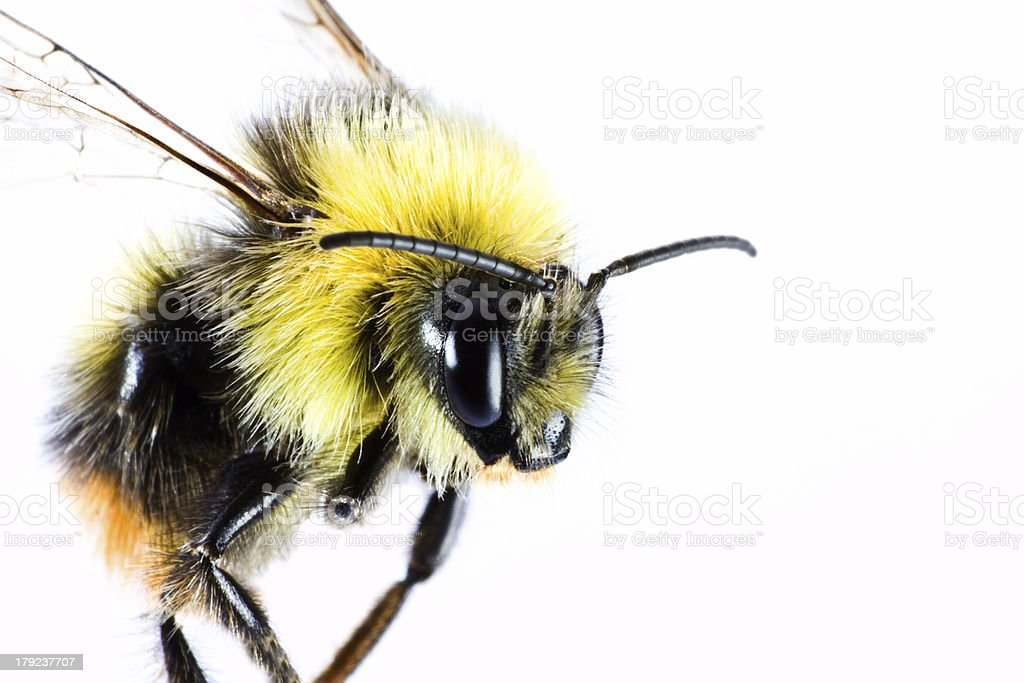 bumble bee close up stock photo