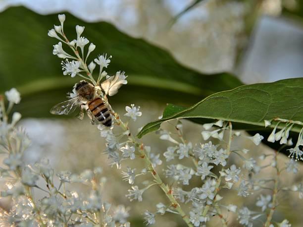 bumble bee sammeln nektar - wilde hilde stock-fotos und bilder